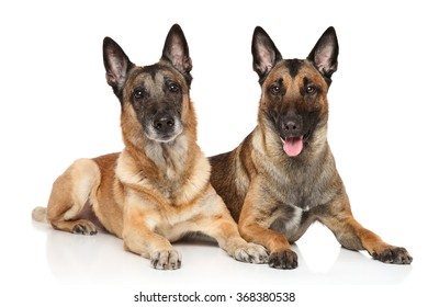 Two Belgian shepherd dogs Malinois lying on white background