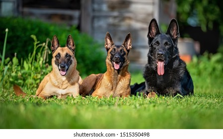 Two belgian shepherd malinois and one german shepherd on the grass