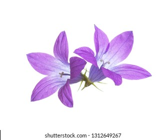 Two bellflowers isolated on white. Spreading Bellflower.