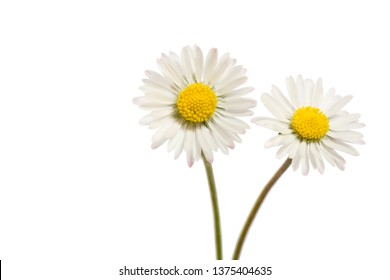 Two Bellis perennis flowers isolated on white