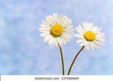 Two Bellis perennis flowers with textured background