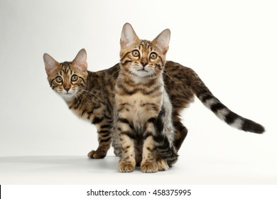Two Bengal Kitten Sitting and walking on White Background, Curious Stare