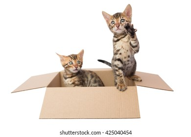 two Bengal kittens in a cardboard box