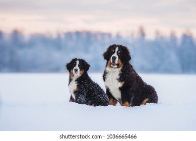 Two bernese mountain dogs in winter
