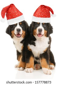 Two bernese sennenhund puppies with christmas decorations on a white background