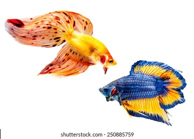 Two betta fish on the white background.