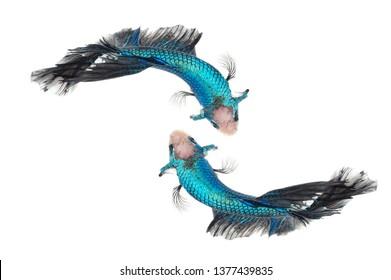 Two betta fish, siamese fighting fish, betta nemo (Halfmoon betta )isolated on white background