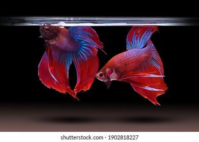 Two betta fish, siamese fighting fish (Halfmoon betta )isolated on black background