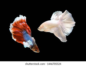 Two betta fish,Siamese fighting fish red and white, siamese fighting fish betta splendens (Halfmoon betta,Betta splendens Pla-kad ( biting fish) isolated on black background.