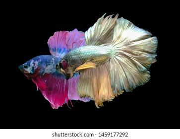 Two betta fish,Siamese fighting fish,siamese fighting fish betta splendens (Halfmoon betta,Betta splendens Pla-kad ( biting fish) isolated on black background