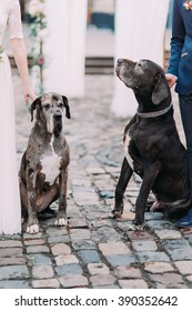 Two big black and white purebred dogs holding by wedding couple close up