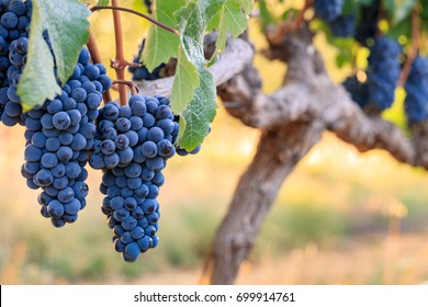 Two big bunches of Cabernet Franc wine grapes on vine in warm evening light