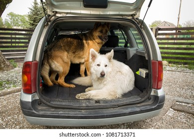 Two big dogs in the car. Carrying dogs in the car. Travel with a dog. Car trunk and Shepherd.