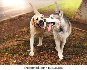 two big dogs, a golden retriever and a husky hybrid, run close together with open mouth, the tongue hangs down. Close-up of playing dogs
