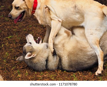 two big dogs, Golden Retrievers and Husky mixed breed in a wild game together. The husky lies with his back on the ground, the retriever stands above him. Close-up