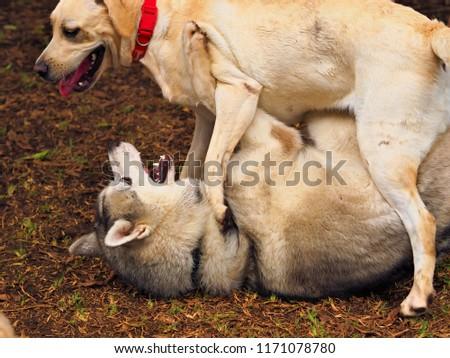Two Big Dogs Golden Retrievers Husky Stock Photo Edit Now