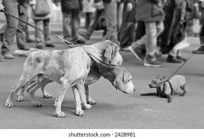 Two big dogs on the leash and look at small dog scared dog on the street against the background of rushing people on the street of Rome, Italy (focus on the dogs).