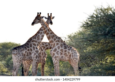 Two big giraffes crossing their necks in african bush close to green trees and one another giraffe hides its head