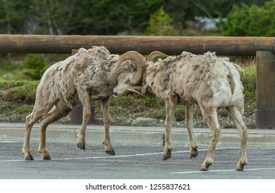 Two Big Horn Sheep Butt Heads In Parking Lot in Montana mountains