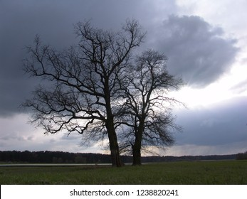 two big leafless oak trees on a meadow ashore of the river Elbe, Germany in front of dramatic dark grey clouds between which the sun comes out