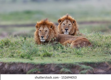Two big Lion brothers late evening in the Serengeti