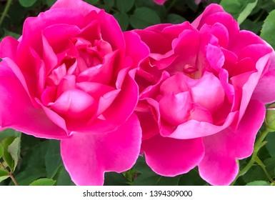 Two big pink rose blooms