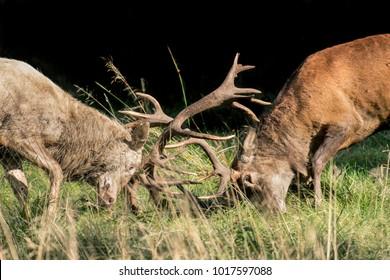 Two big red deer stags fighting during the rut season in Dyrehaven, Copenhagen, Denmark.