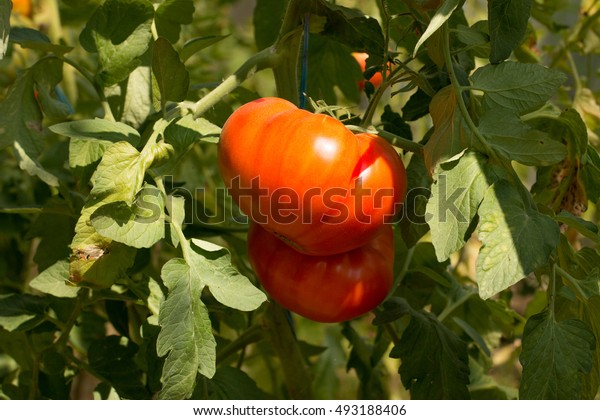 Two big ripped healthy tomatoes are hanging on the shrub