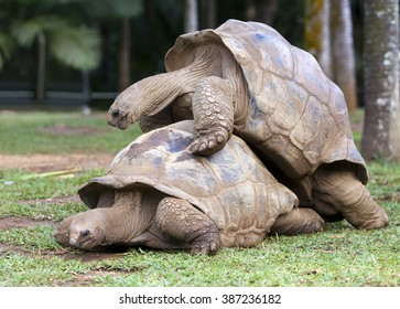 two Big Seychelles turtles sympathizing each other. Mauritius