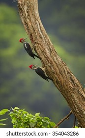 Two big  south american woodpeckers Dryocopus lineatus Lineated Woodpecker on old trunk looking for nest-hole. Vertical picture, diagonal composition, typical rain forest environment.