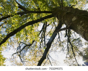 Two big trees, view from below. Trunk covered with moss.