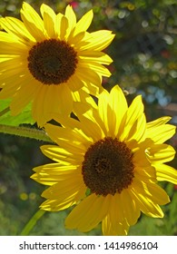Two big yellow sunflowers in a garden