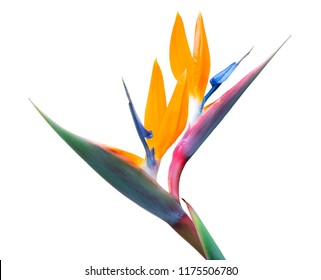 two bird of paradise blossoms on one stem isolated on a white background