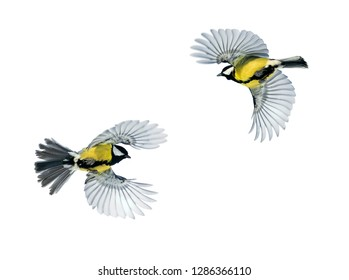 two bird Tits fly widely spread wings on a white isolated background