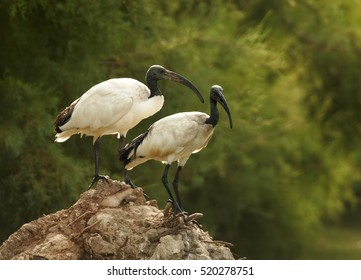 Two birds, African sacred ibis, Threskiornis aethiopicus, black and white wading bird. Pair perched on trunk in small lagoon. Camargue, France