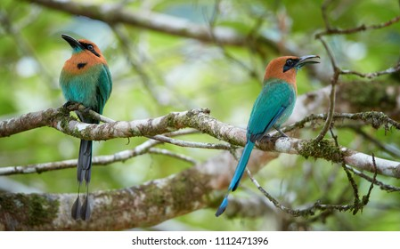 Two birds, Broad-billed Motmot, Electron platyrhynchum. Pair of colorful tropical birds with rufous head and blue tail, native to wet forests of Central America. Rainforest wildlife photo.Boca Tapada.