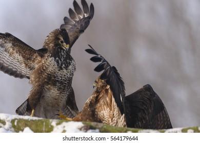 Two birds buzzard Buteo buteo chasing each other