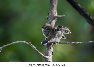 Two birds (Pied Fantail Flycatcher, Rhipidura javanica) black color in a nature wild are couple, friends or brethren