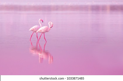 two of birds pink flamingo walking on the blue salt lake of Cyprus in the city of Larnaca, the concept of romance delicate background of love tinted in pink with space for text