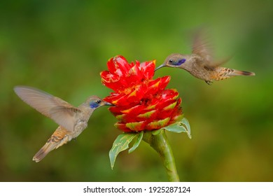 Two birds with red flower bloom. Hummingbird Brown Violet-ear, Colibri delphinae, birds flying next to beautiful violet bloom, nice flowered green background.