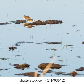 Two birds Temminck´s Stint in natural habitat in a wetland on the swedish island Oland