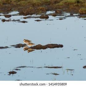 Two birds Temminck´s Stint resting in natural habitat in a wetland on the swedish island Oland