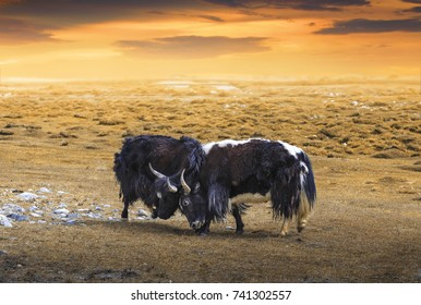 Two Bison a.k.a. Buffalo fighting with landscape and dramatic sunset sky