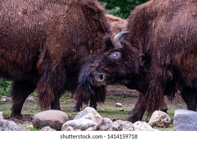 Two Bison (Buffalo) Fighting One Another