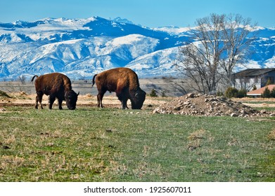Two Bison In Sheridan Wyoming