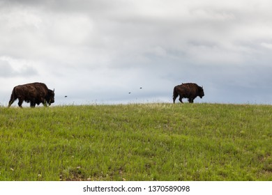 Two bison walking on a grassy hilltop ridge with birds flying next to them with dark storm clouds in the background.