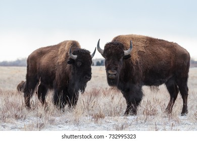 Two Bison weathering the snow in Colorado