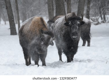 Two bison in the winter shaking off snow