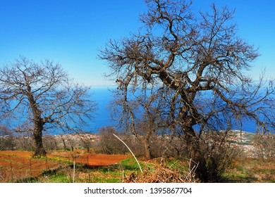 """Two bizarre old trees on a hiking trail in the north of Tenerife, the """"Camino Candelaria"""", without leaves in winter with a view of the Atlantic Ocean in the sun and blue sky"""