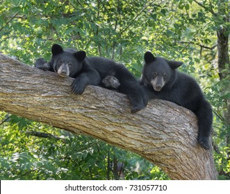 Two black bear cubs resting in a tree.